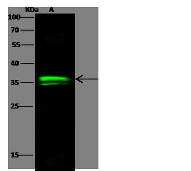 OTX1 Antibody in Western Blot (WB)
