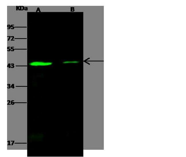 SMAD7 Antibody in Western Blot (WB)