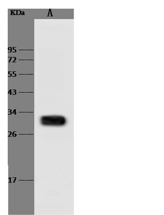 HAAO Antibody in Western Blot (WB)