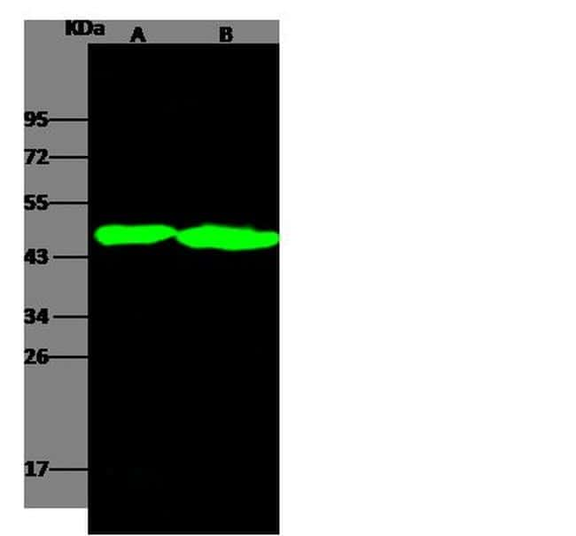 OX40 Antibody in Western Blot (WB)