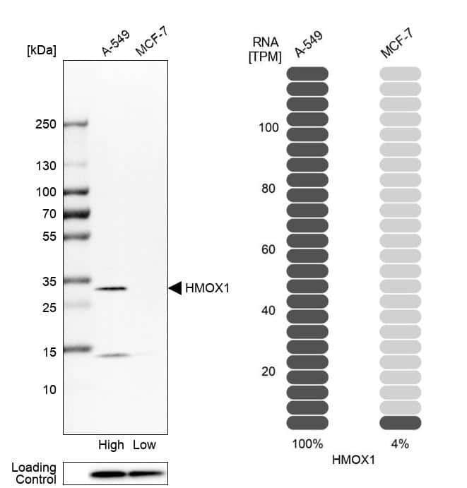 HMOX1 Antibody in Relative expression