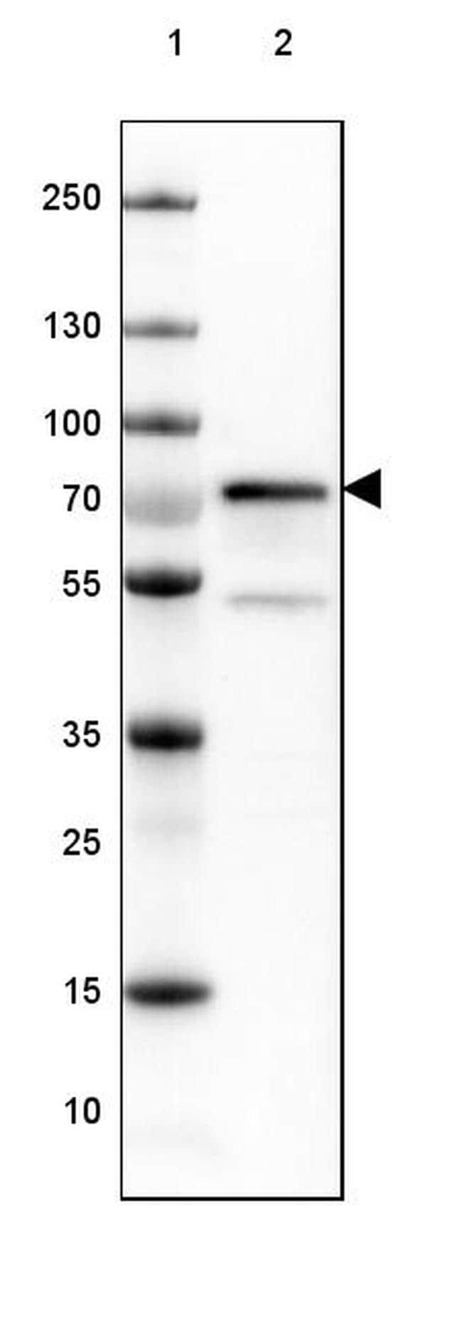 HSPA2 Antibody in Western Blot (WB)