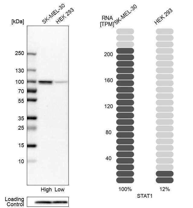 STAT1 Antibody in Relative expression