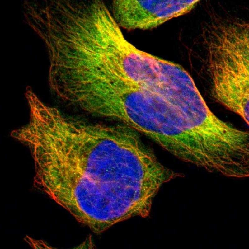 HDJ2 Antibody in Immunofluorescence (IF)