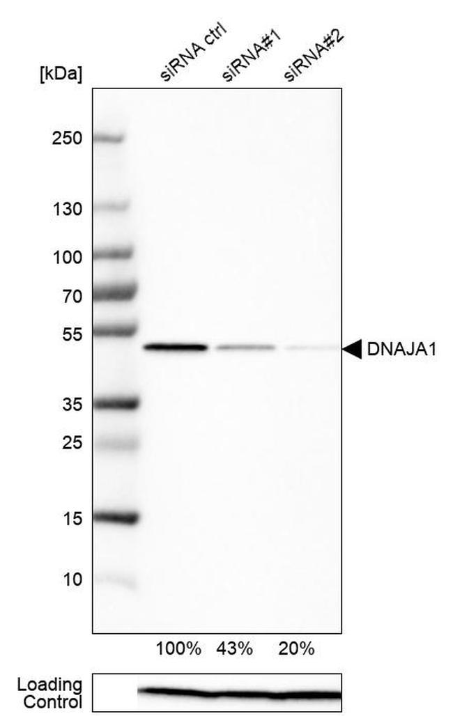 HDJ2 Antibody in Western Blot (WB)