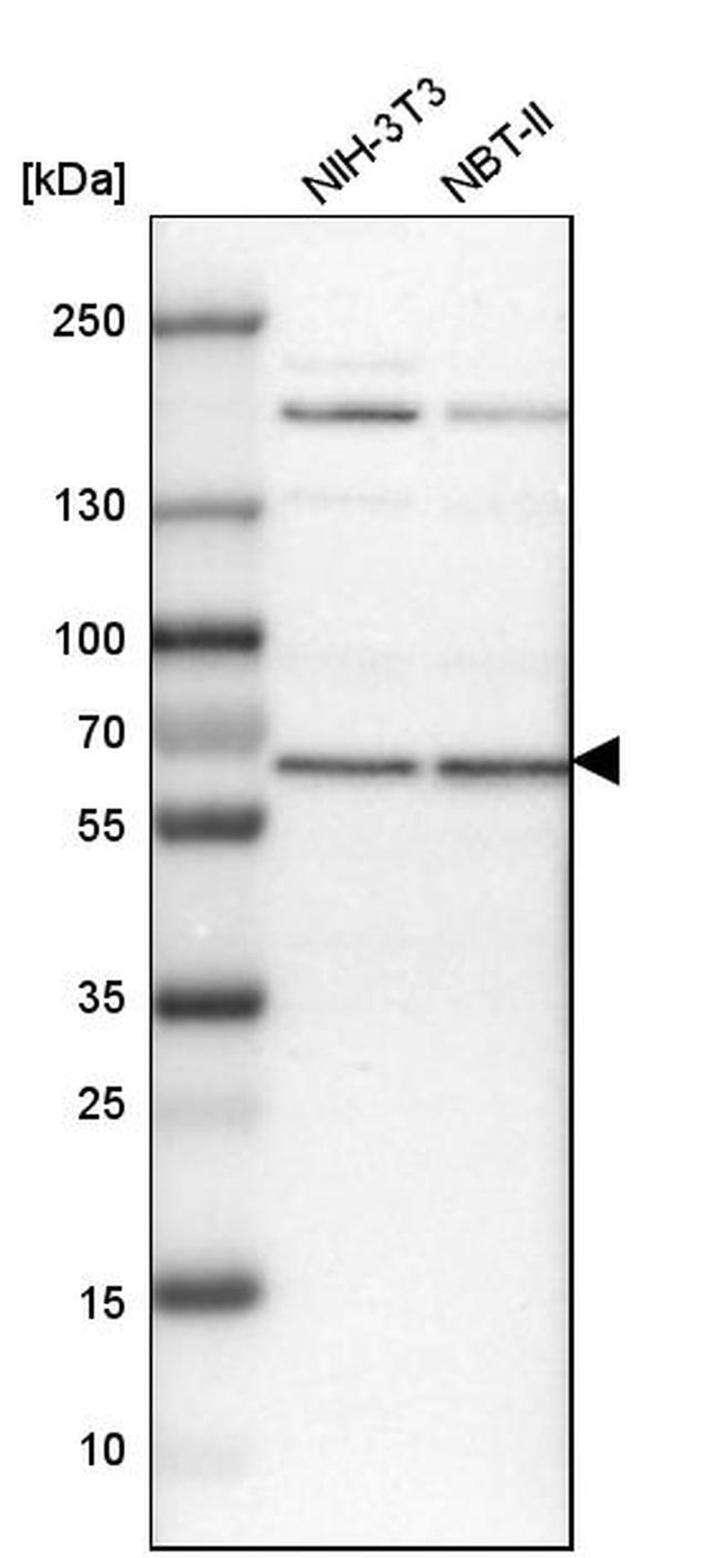 USP14 Antibody in Western Blot (WB)