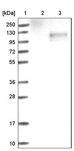 H-cadherin Antibody in Western Blot (WB)