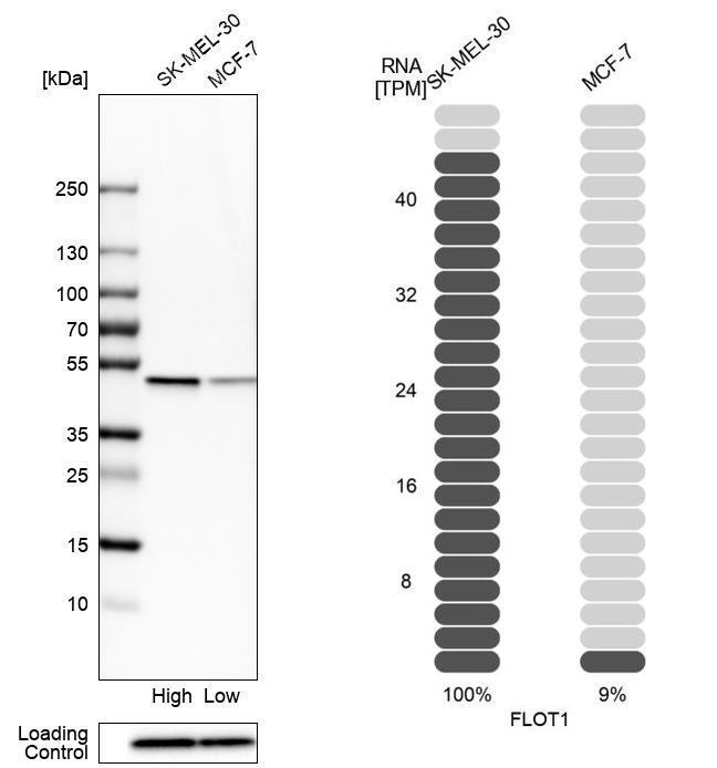 Flotillin 1 Antibody in Relative expression