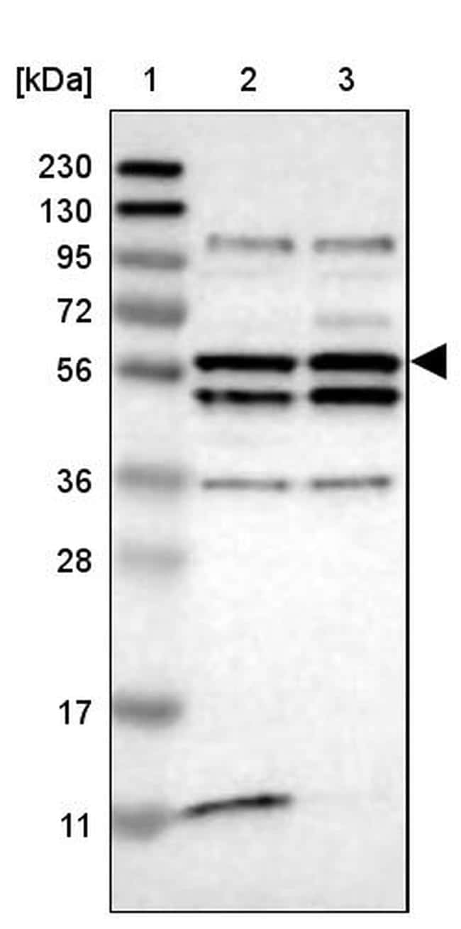 OASL Antibody in Western Blot (WB)