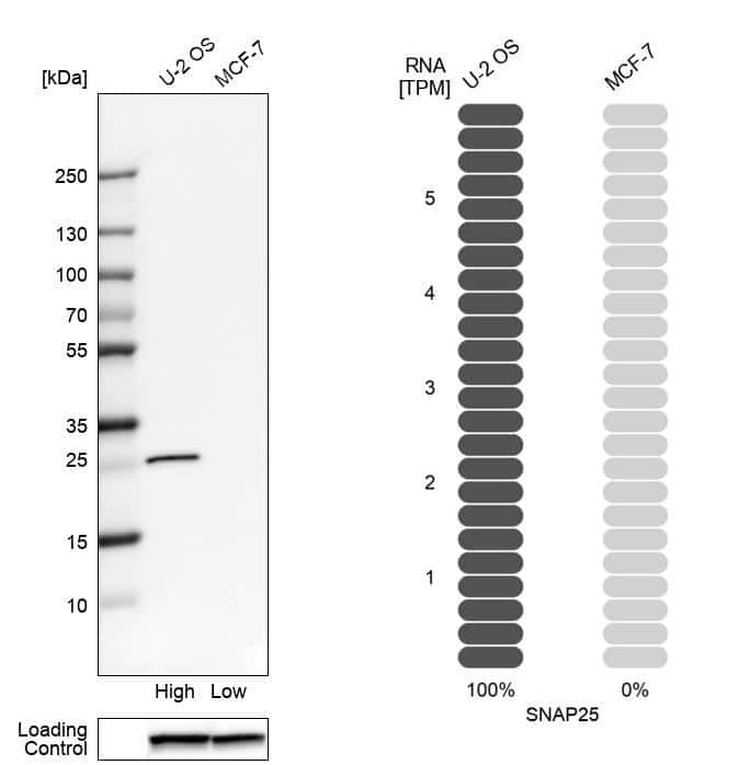 SNAP25 Antibody in Relative expression