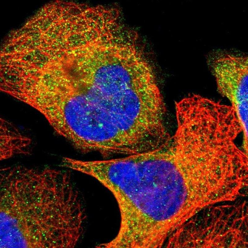 VAV1 Antibody in Immunofluorescence (IF)