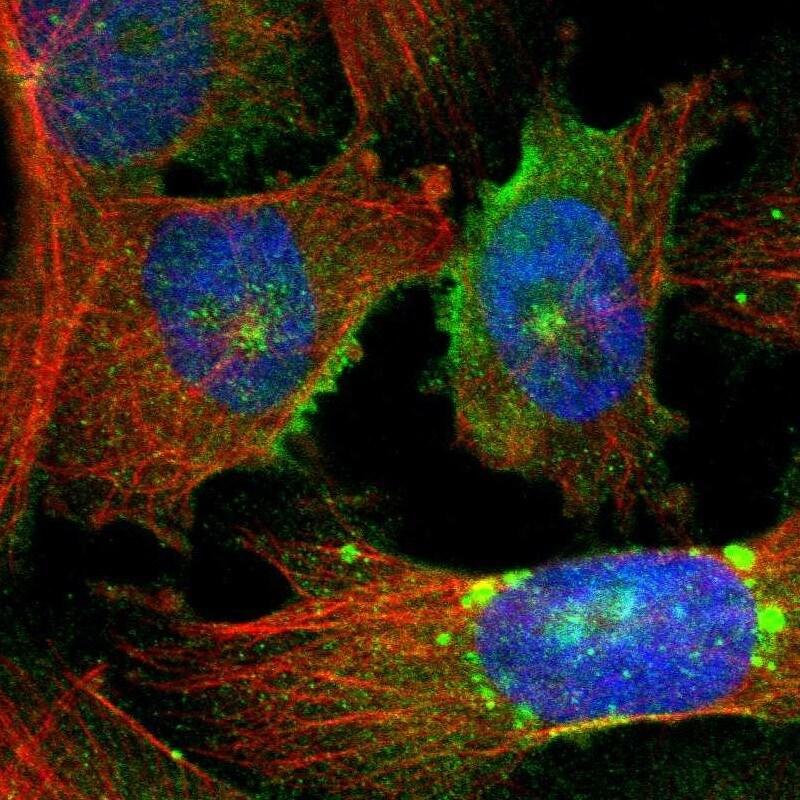 PODXL Antibody in Immunofluorescence (IF)