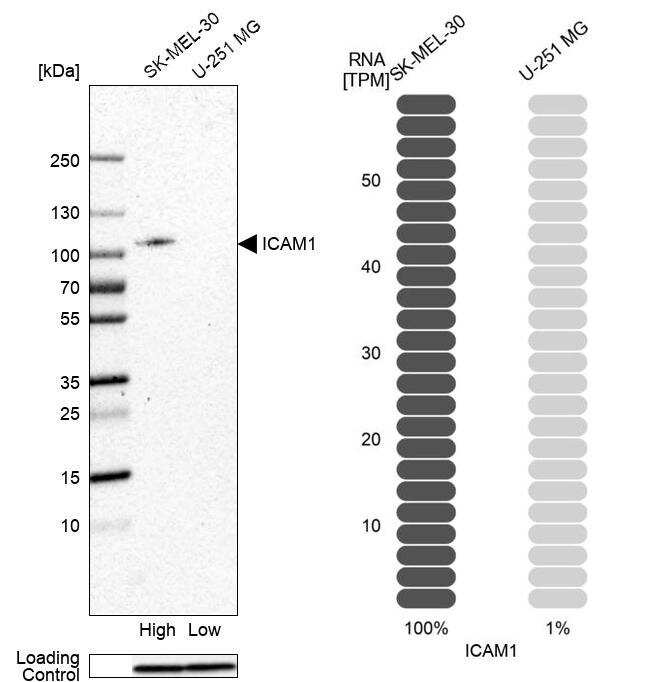 ICAM-1 Antibody in Relative expression