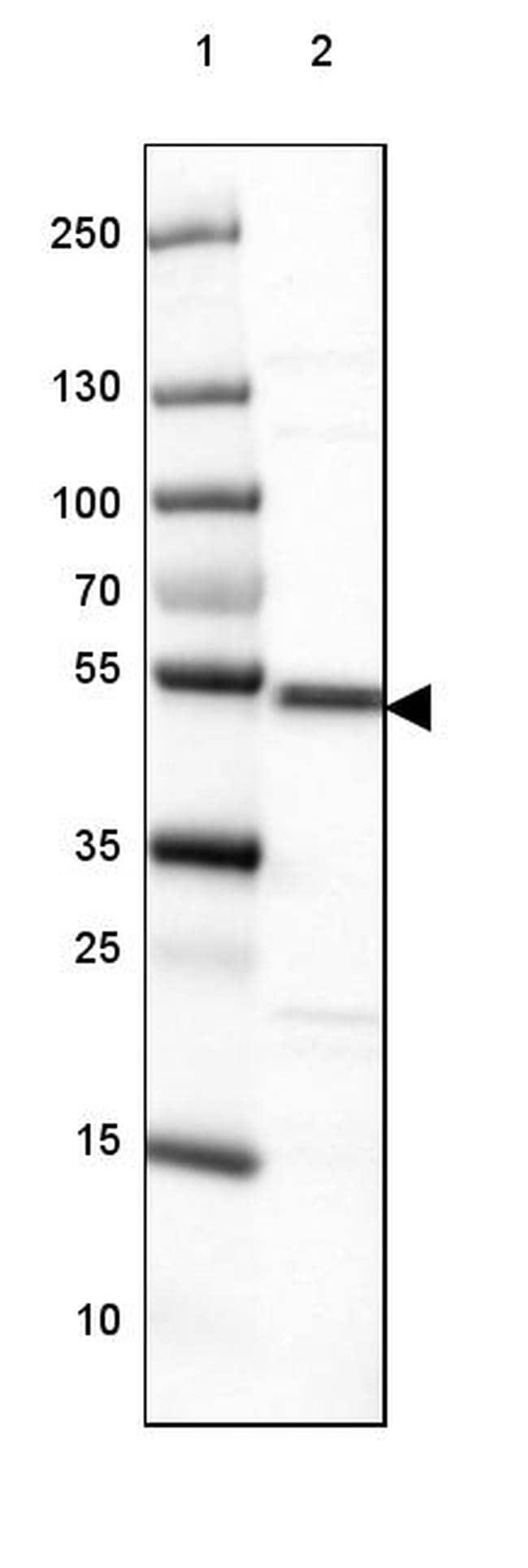 IRF8 Antibody in Western Blot (WB)