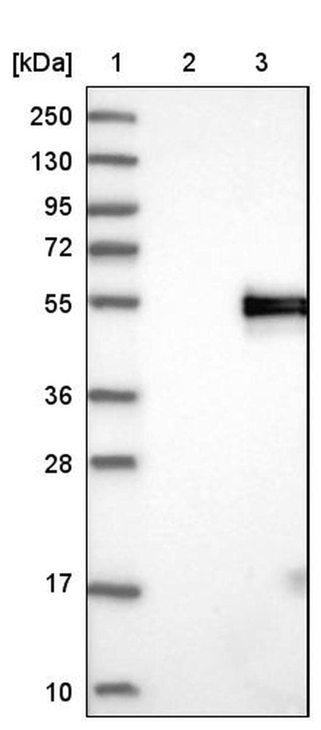 MFGE8 (Lactadherin) Antibody in Western Blot (WB)