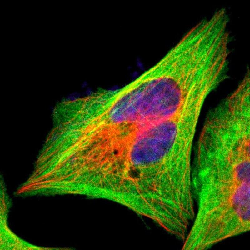 Filamin A Antibody in Immunofluorescence (IF)