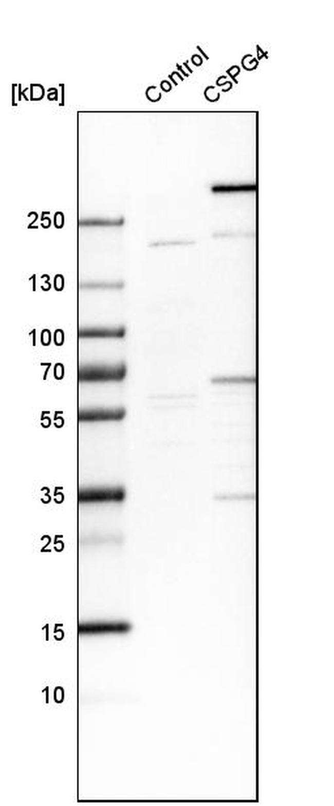 NG2 Antibody in Western Blot (WB)
