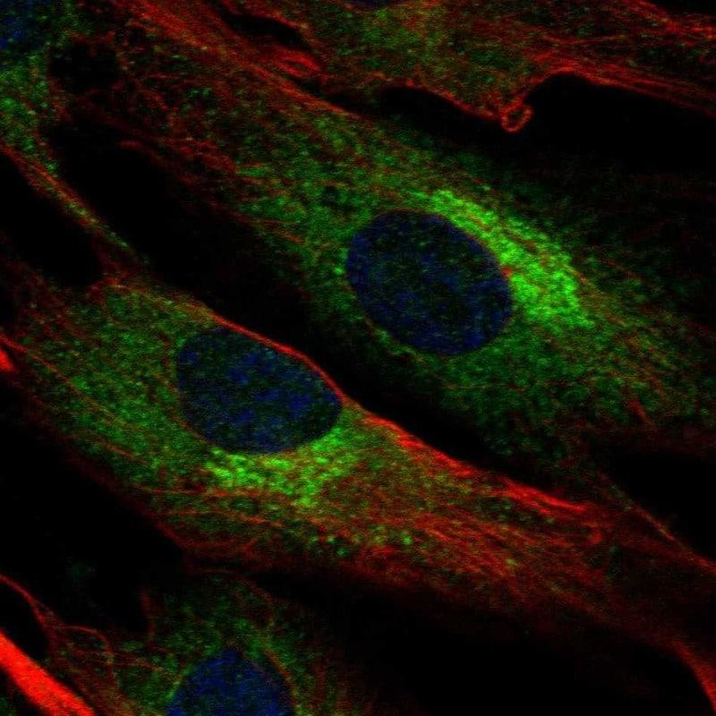Biglycan Antibody in Immunofluorescence (IF)