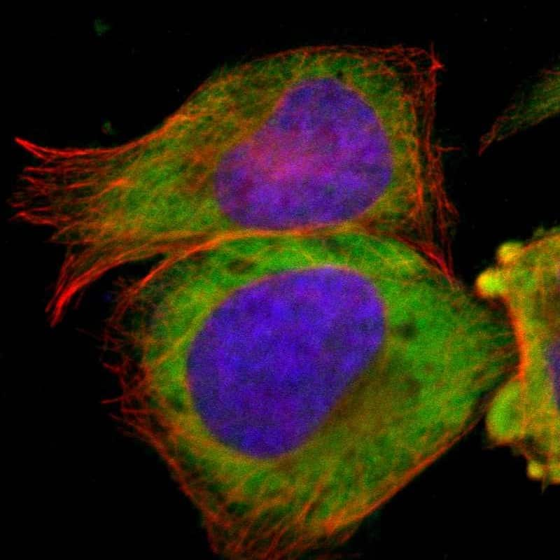 TCP-1 beta Antibody in Immunofluorescence (IF)