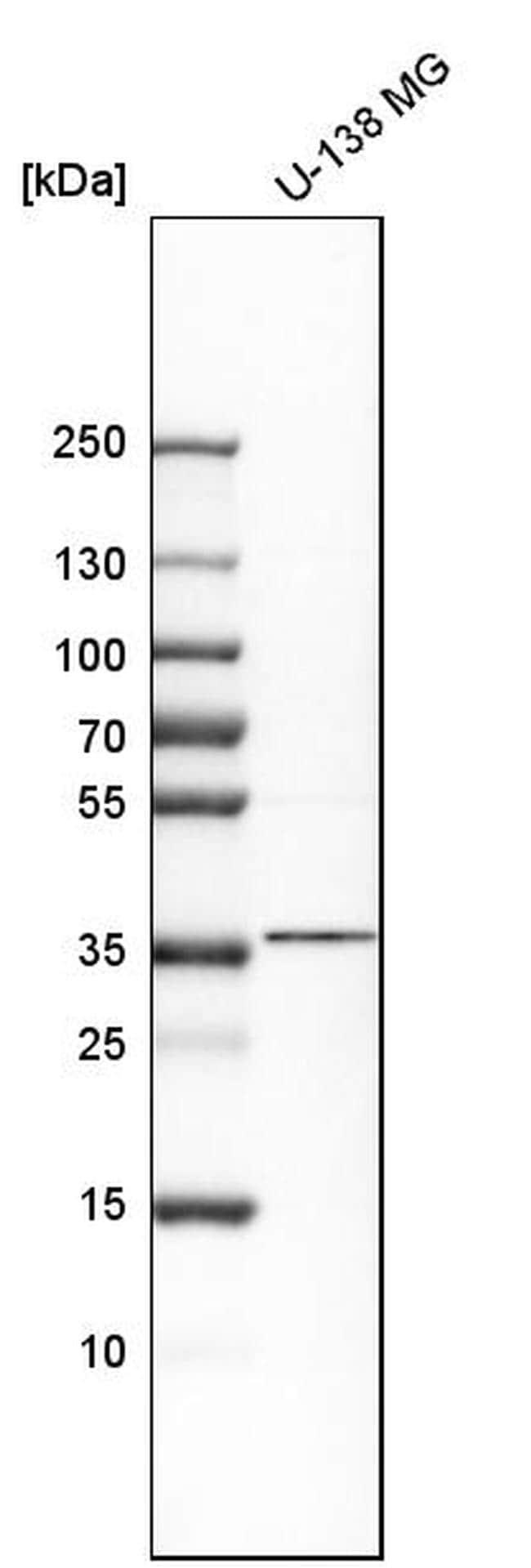 Nkx2.2 Antibody in Western Blot (WB)