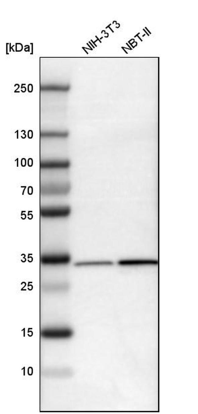 EB1 Antibody in Western Blot (WB)