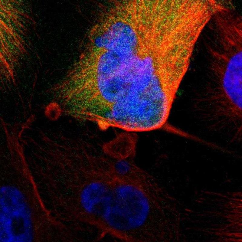 MIF Antibody in Immunocytochemistry (ICC/IF)