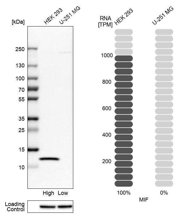MIF Antibody in Western Blot (WB)