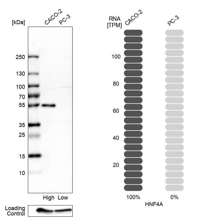 HNF4A Antibody in Relative expression