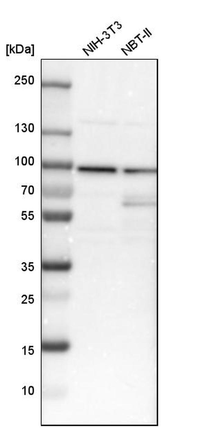 Cyclin T1 Antibody in Western Blot (WB)