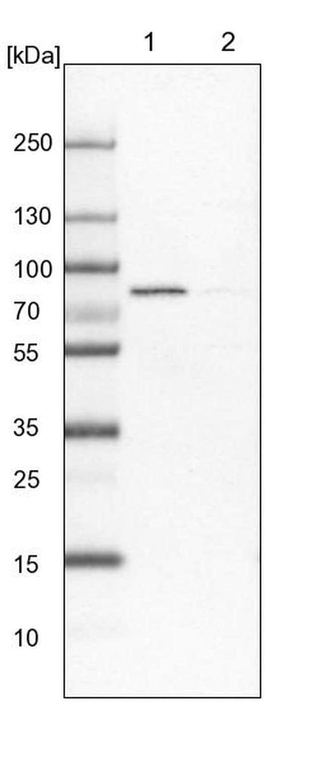 ACSL4 Antibody in Western Blot (WB)