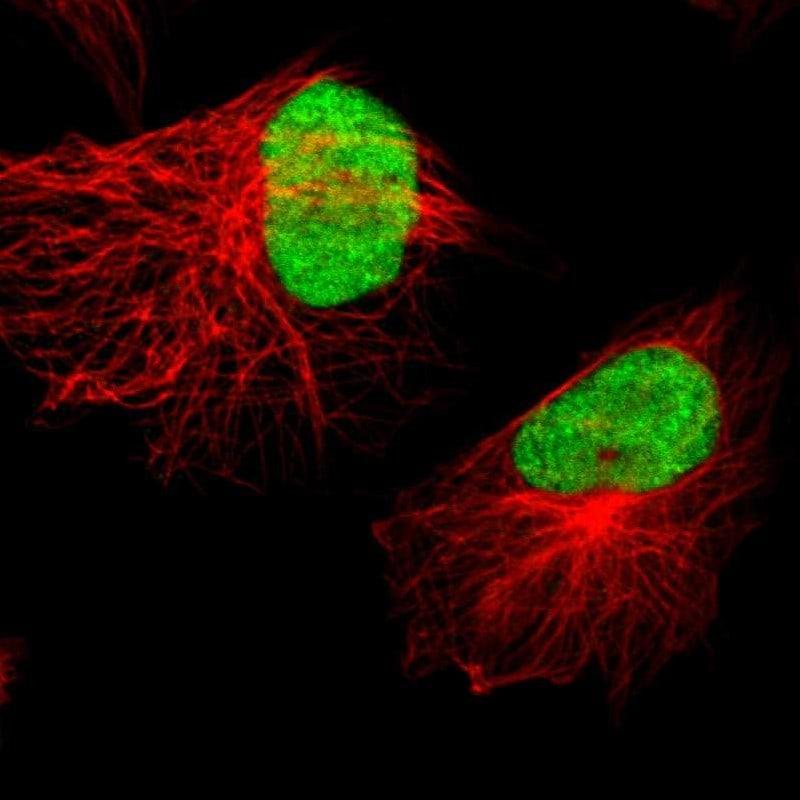 XRCC4 Antibody in Immunofluorescence (IF)