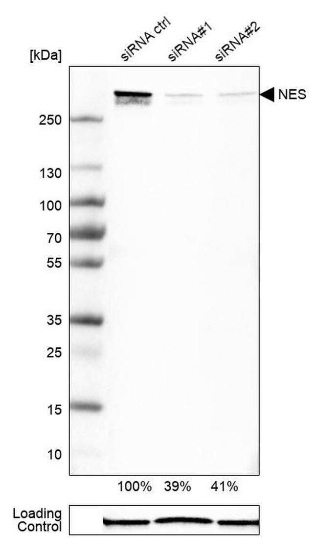 Nestin Antibody in Western Blot (WB)