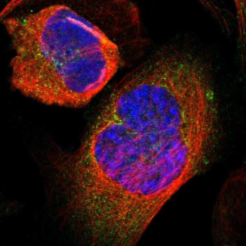 Glutamine Synthetase Antibody in Immunocytochemistry (ICC/IF)