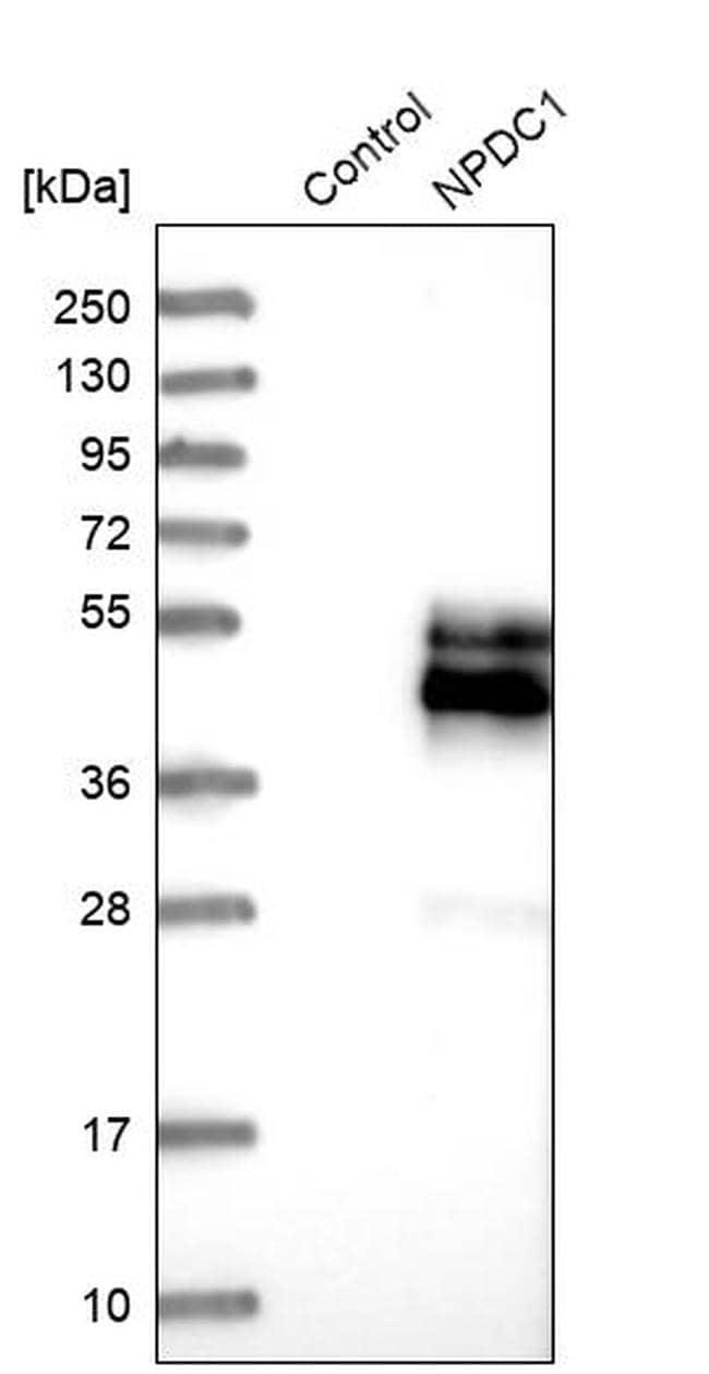 NPDC1 Antibody in Western Blot (WB)