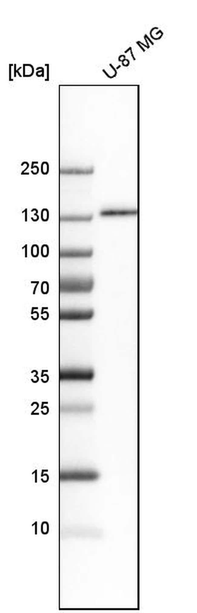 ITGA3 Antibody in Western Blot (WB)