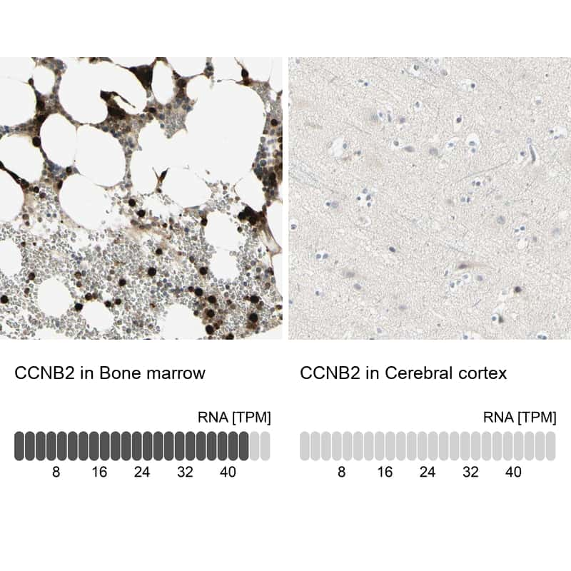 Cyclin B2 Antibody in Relative expression