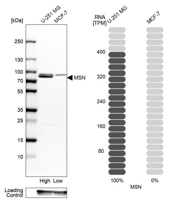 Moesin Antibody in Relative expression