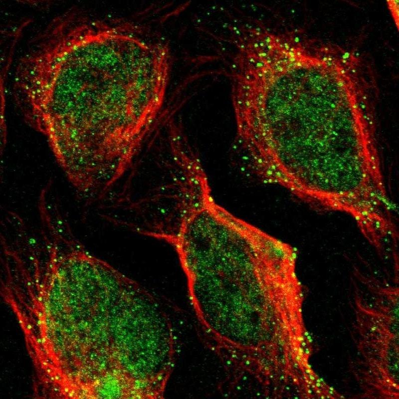 PDE9A Antibody in Immunofluorescence (IF)