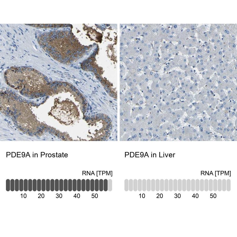 PDE9A Antibody in Immunohistochemistry (IHC)