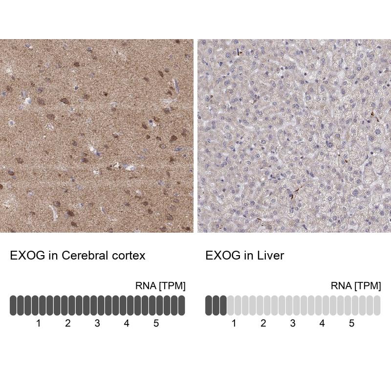 ENDOGL1 Antibody in Relative expression