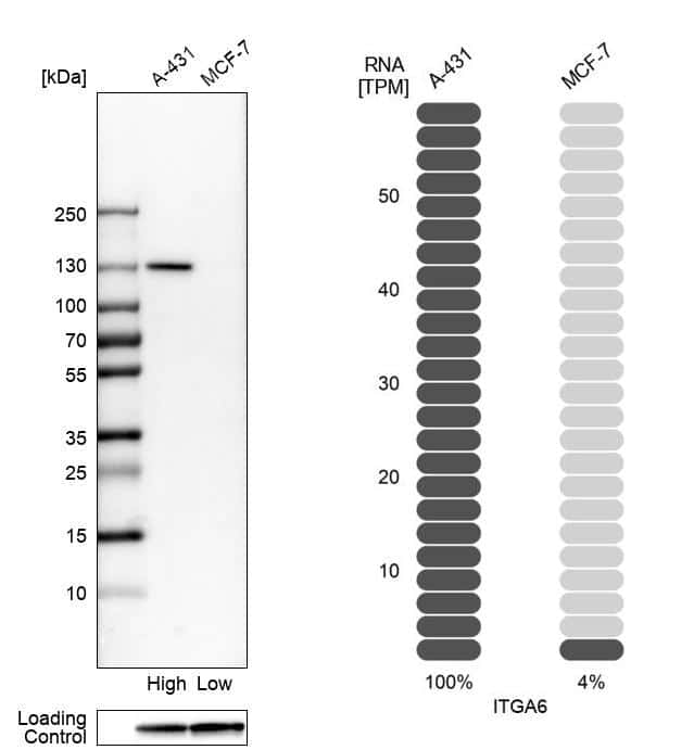 CD49f Antibody in Relative expression