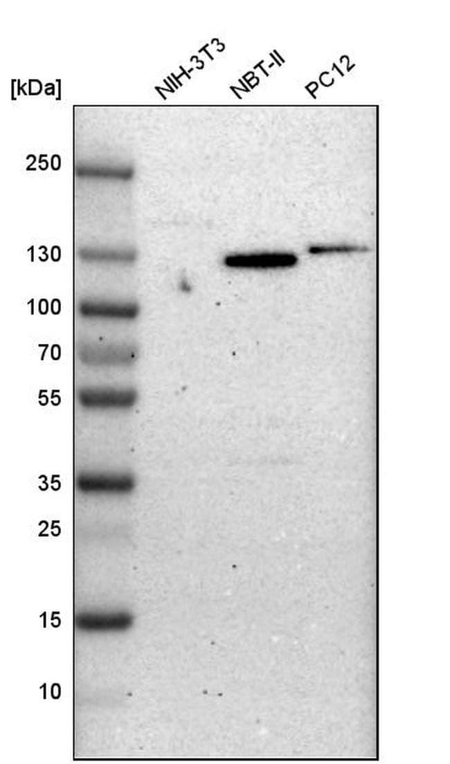 CD49f Antibody in Western Blot (WB)