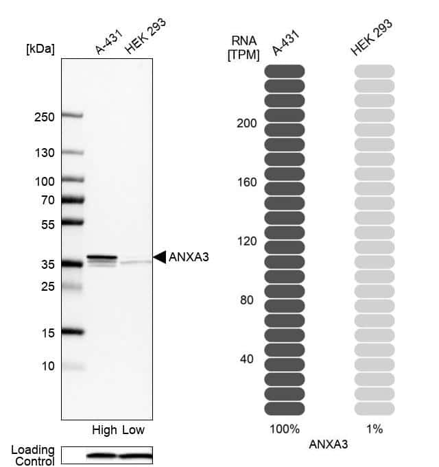 Annexin A3 Antibody in Relative expression