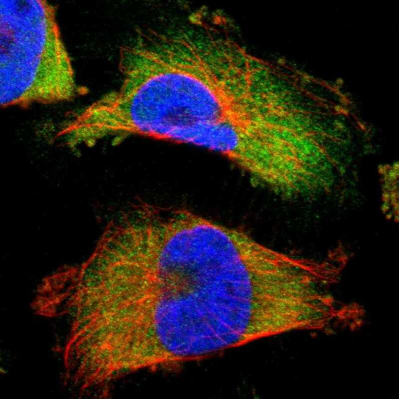 Annexin A3 Antibody in Immunofluorescence (IF)
