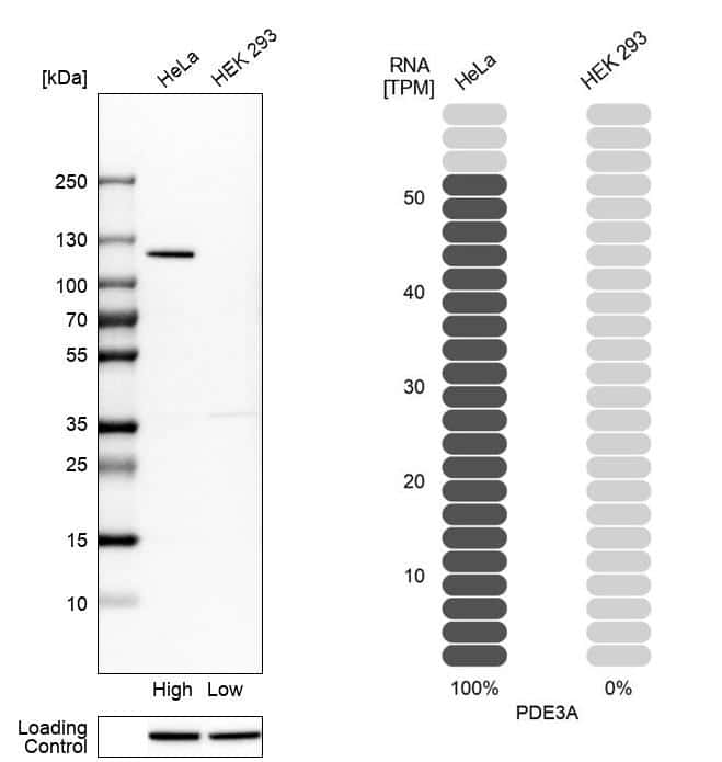 PDE3A Antibody in Relative expression