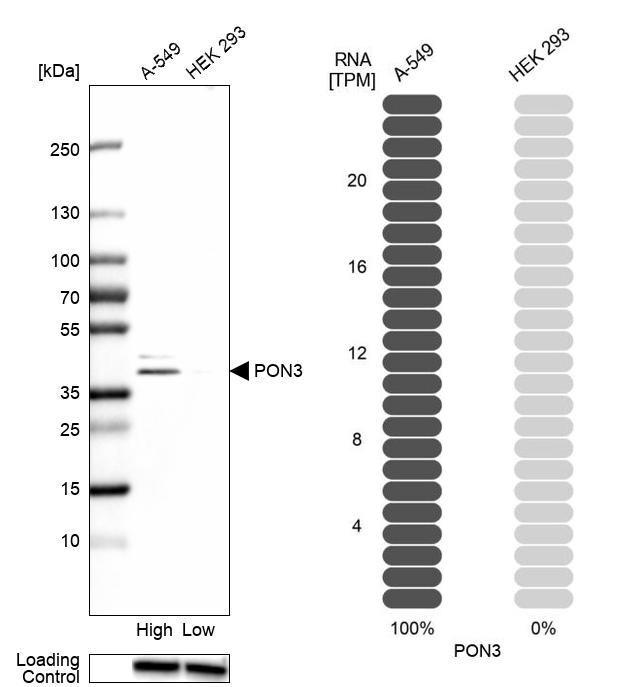 PON3 Antibody in Relative expression