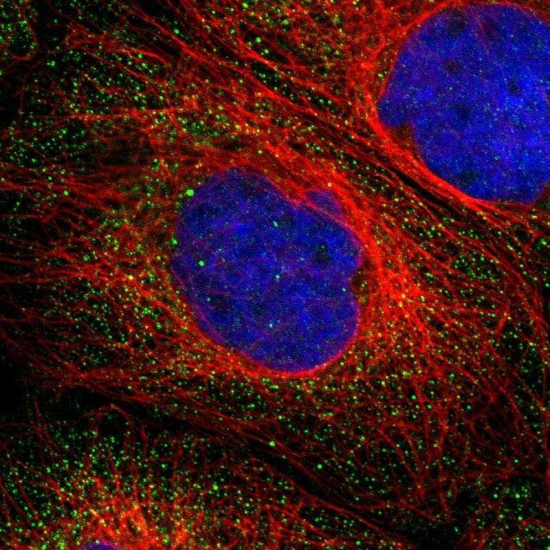 B7-H3 Antibody in Immunofluorescence (IF)