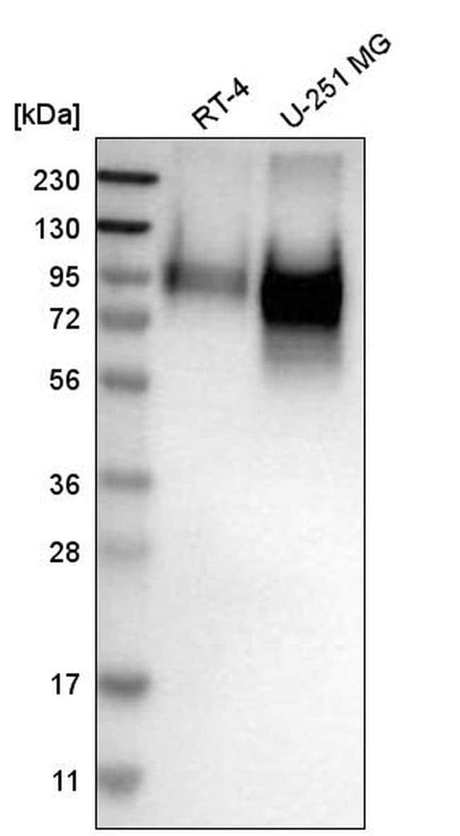 CD98 Antibody in Western Blot (WB)