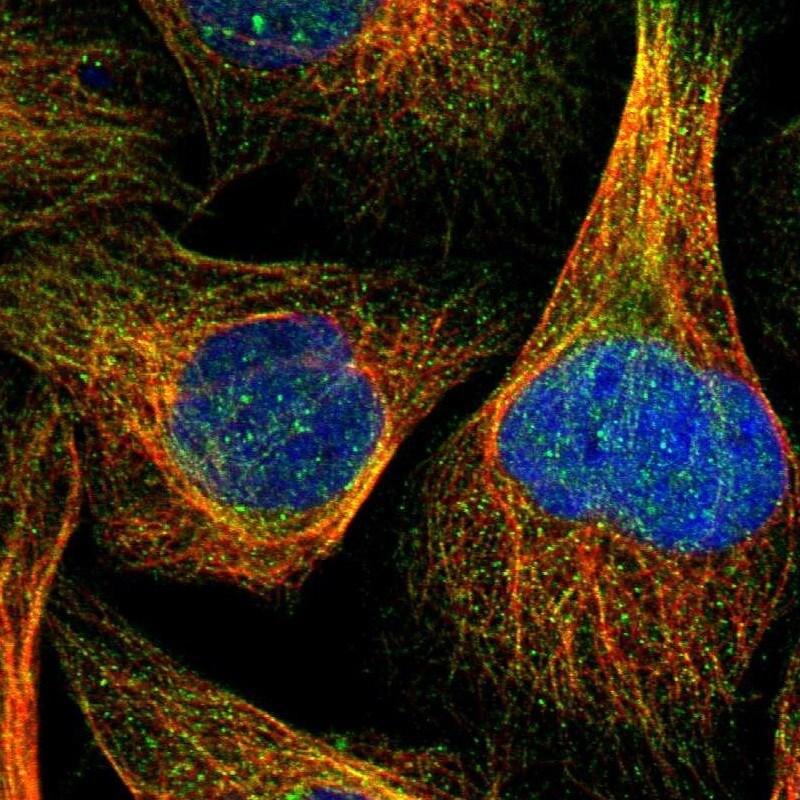 ZNF230 Antibody in Immunofluorescence (IF)