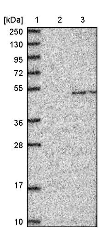 GDF3 Antibody in Western Blot (WB)